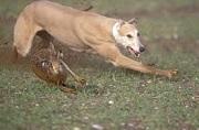 chien en mode chasse